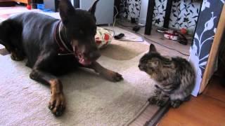 злой котенок и доберман 2