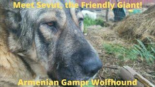 Rare Armenian Gampr Wolfhound  Meet Sevut, the giant breed livestock guardian dog in training.