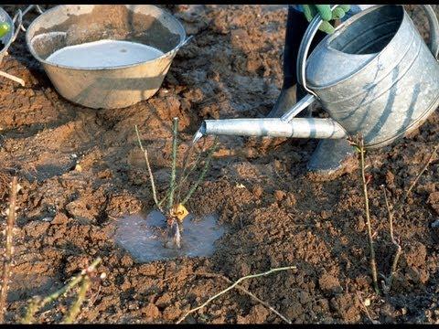 Planter un rosier tige à racines nues - YouTube