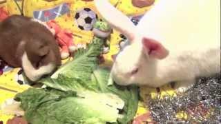 Морская свинка и кролик