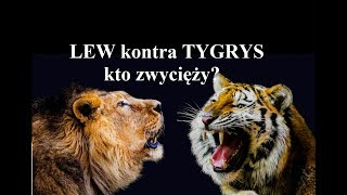 LEW kontra TYGRYS - kto zwycięży