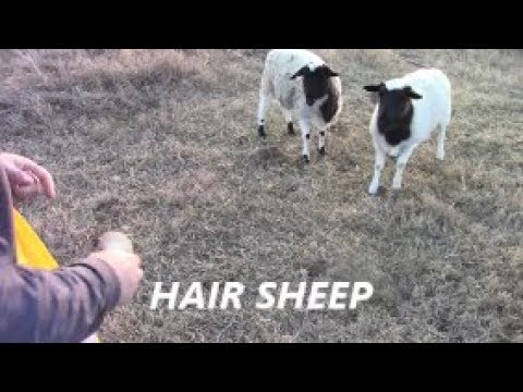 Download One of the best sheep you can raise!?!