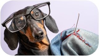 you-re-welcome-daddy-funny-dachshund-dog-video