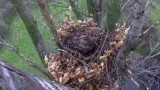 """Egy """"üres"""" parlagisas-fészek élete / The life of an """"empty"""" Imperial eagle nest"""