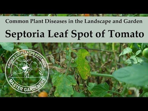 Septoria Leaf Spot on Tomato - Common Plant Diseases in the Landscape and Garden