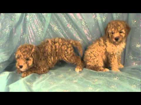 Bichon Poodle Puppy For Sale In Iowa Shipping Available Puppies