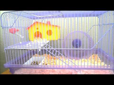 como cuidar do seu hamster