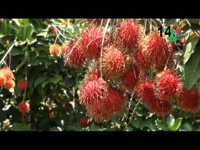 El Rambután, un fruto que cambio a todo un pueblo, Sin Límites, programa #60.
