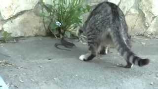 Кот против змеи - офигенный прикол смотреть всем!
