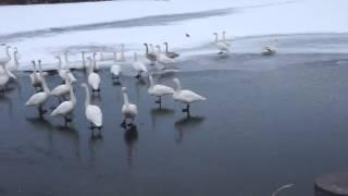 真木堤の白鳥と狆.