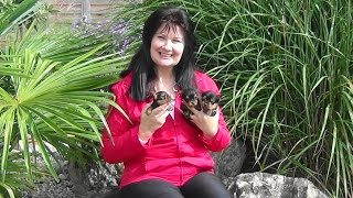 Mini-yorkshire-terrier-welpen Www.welpenvermittlung-hunde.at