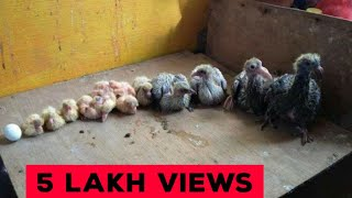 How to Feed Pigeon baby Food Step Guide by Aman Prabhakar