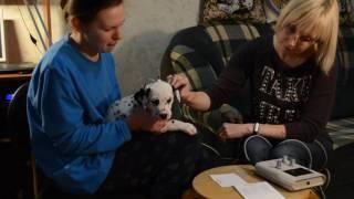 BAER-тест (проверка слуха) у  щенка далматина без релаксанта в питомнике Симфони оф Старс.