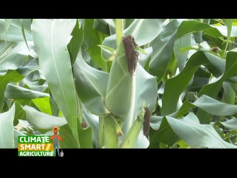 Kenya: A Fertilizer that boosts your maize yield to 30 bags per acre - Part 2