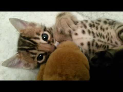 3.5 week old bengal kitten...a troublemaker!