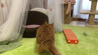 トイレ出待ちされる白猫タマ。茶白猫のぷぷに狙われてるのに気づいて そ...