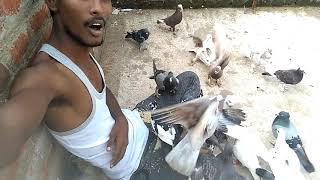 Pigeon loft my pigeons foods on me | pigeon | wonderpets