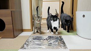 カーペットの一部がアルミホイルになっていたら猫たちはどうする?