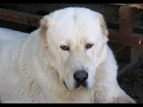 Central Asian Shepherd (Alabai) - Dog  Breed