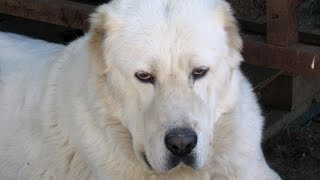 Written sources testify that the Central Asian Shepherd Dog came to...