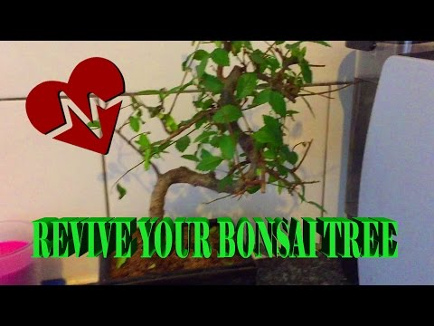 Bonsai Tree - How to save a bonsai tree leaves falling off