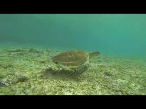 Bahamas 2014/15: Part I: GREEN TURTLES, EAGLE RAYS UP CLOSE
