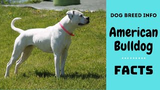 American Bulldog dog breed. All breed characteristics and facts about American Bulldog