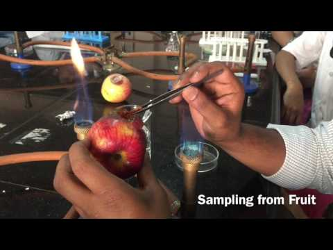 Microbiological Sampling From Spoiled Fruit