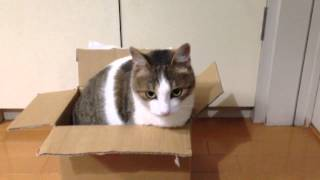 猫は本当に箱が大好き。 目の前に四角い箱があると入らずにはいられない...