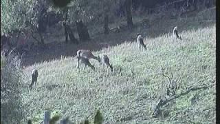 Hunting fallow deer