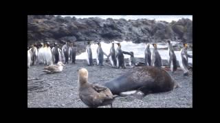 Изнасилование пингвинов морскими котиками (Часть I)