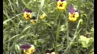 видео Целебные свойства фиалки трехцветной