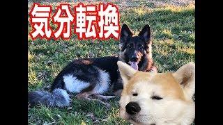 愛犬シベリアンハスキー犬クッキーを失い家族皆 どうしても気が重いこの...