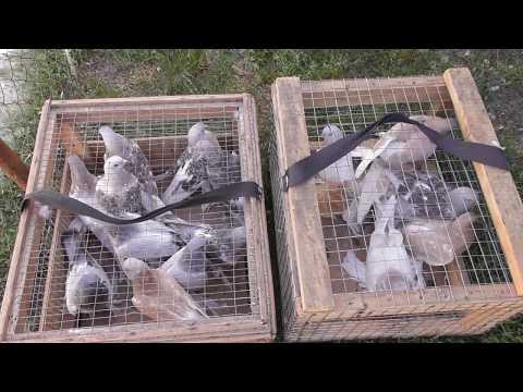 Как заставить ленивых голубей летать?