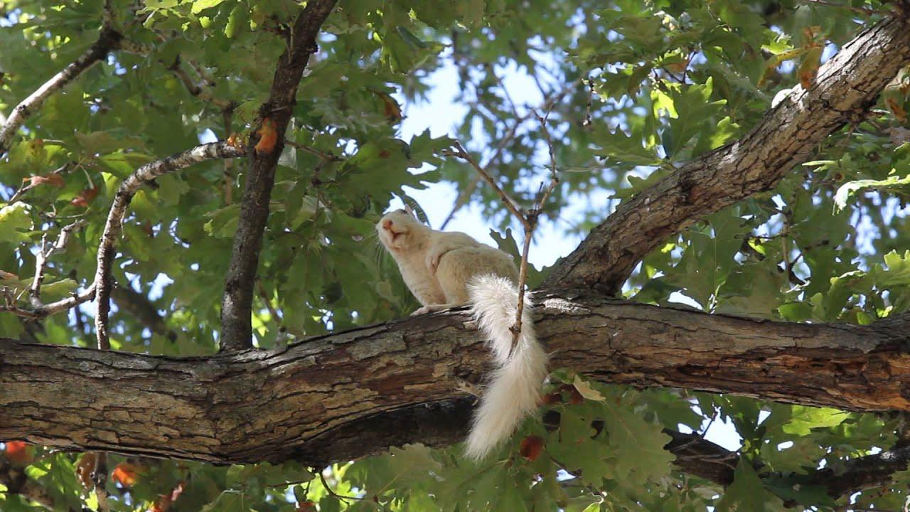 White Squirrel - Olney, Illinois - YouTube