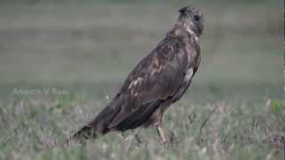 Western Marsh Harrier Thumbnail