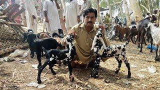 High Class Baby Goats For Sale - Sahiwal Bakra Mandi Latest Video 2019