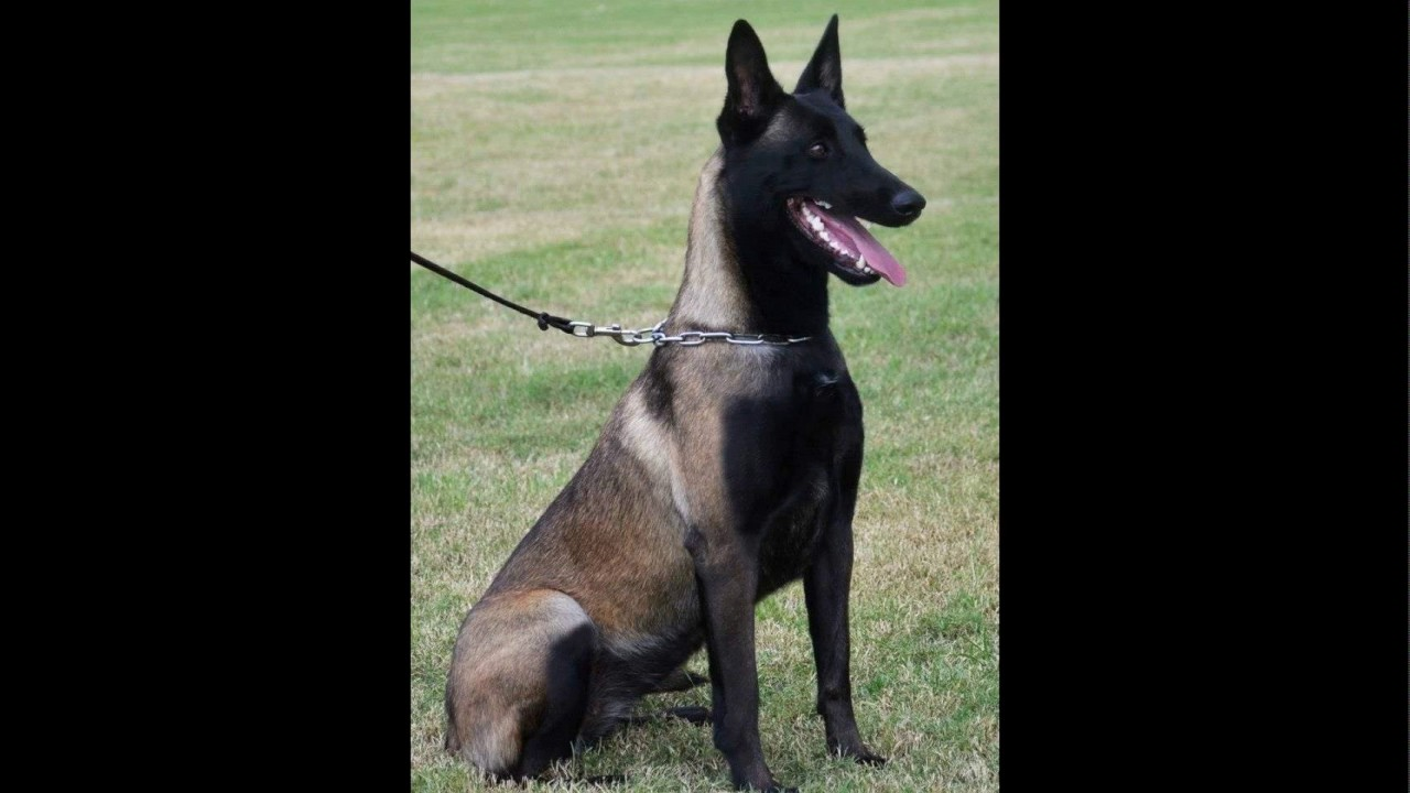 Colors of a belgian malinois - YouTube