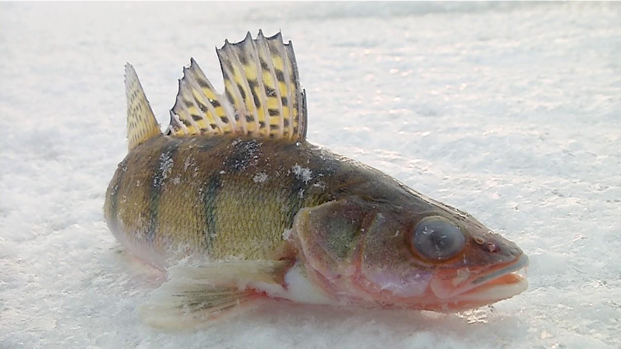 зимняя рыбалка уловистых