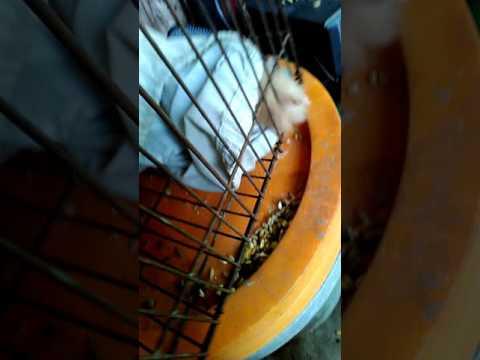 Bán chuột Hamster giá 70k