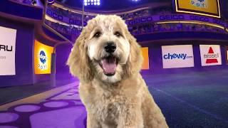 Puppy Profile: Sophie the Golden Doodle | Puppy Bowl XIV