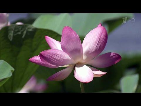 В Астраханской области начался сезон цветения лотоса.