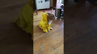 Corgi Puppy In Her Rain Jacket Again 8/7/2021