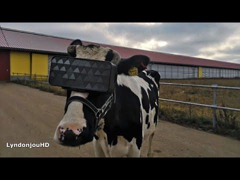 Gafas VR para que las vacas se sientan libres y mejore su leche