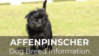 Affenpinscher Dog Breed Information & Pictures  Chews A Puppy
