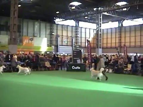 Golden Retriever Post Graduate dog crufts 2016