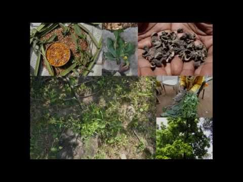 Medicinal Rice P5K Formulations for Humboldtia Excess: Pankaj Oudhia's Medicinal Plant Database