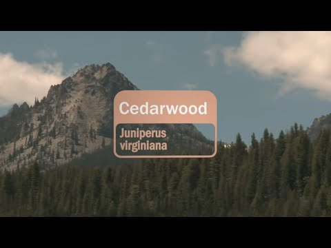 cedarwood-essential-oil-uses-and-benefits