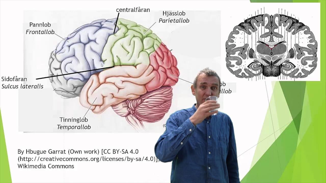 Nervsystemet del 9 (hjärnbarken,  cortex )