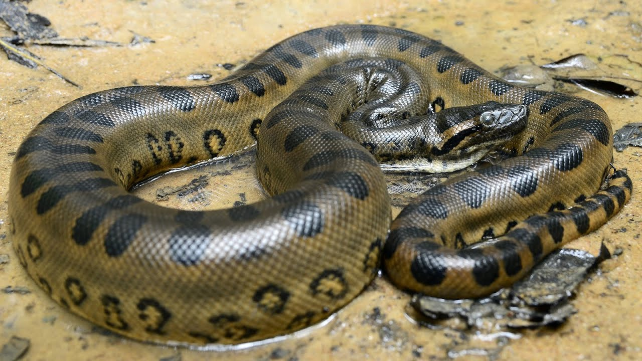 Lebende frau frisst anaconda Futterinsekten lebend,